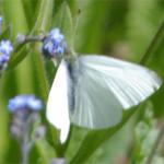 Small white, photographed 15 May 2005 by L Pasquire
