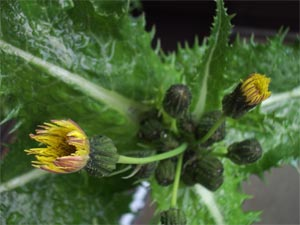 Prickly Sowthistle (sonchus asper) photographed 22 May 2005 by B Crowley