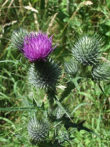 Spear thistle, photographed 10 July 2005 by B Crowley