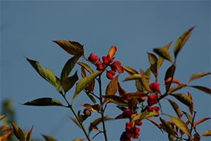 Spindle tree, photographed 15 October 2005 by B Crowley