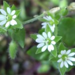 Chickweed (Stellaria Media) photographed 01 May 2005 by B Crowley