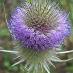 Teasel, photographed 29/07/05 by B Crowley