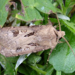 Heart and Dart ((Agrotis exclamationis) photographed 3 June 2009 by S Calvert-Fisher