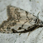 Least Black Arches, photographed 1 May 2010 by S Calvert-Fisher