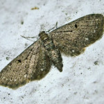 White-spotted Pug (Eupithecia tripunctaria) photographed 05 May 2010 by S Calvert-Fisher