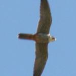 Hobby (Falco subbuteo) photographed 02 June 2009 by M Kosniowski