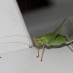 20100730_speckled_bush_cricket_K7_0033