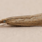 Agriphila straminella - a micromoth, photographed 31 July 2010 by B Crowley