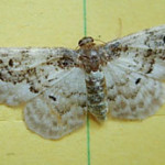 Least Carpet (Idaea rusticata) photographed 02 August 2010 by S Calvert-Fisher