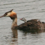 Great Crested Grebe (Podiceps cristatus) with chick, photographed 08 August 2010 by M Kosniowski
