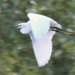 Little egret (Egretta garzetta) photographed in flight over Orchard Lake by M Kosniowski
