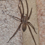 Tegenaria domestica, photographed 17 August 2010 by B Crowley