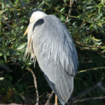 Grey heron Ardea cinerea) on Thrupp Lake, 28 May 2011. Photograph by B Crowley
