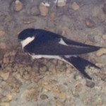 House Martin (Delichon urbica) photographed 29 April 2011 by S Calvert-Fisher