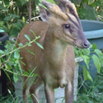 Muntjac, photographed 02 August 2011 by S Calvert-Fisher