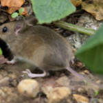 Wood Mouse (Apodemus sylvaticus) photographed 30 August 2011 by B Crowley