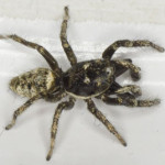 Salticus cingulatus, a zebra spider, photographed 07 June 2013 by B Crowley