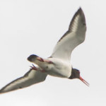 Oystercatcher (Haematopus ostralegus) in flight over Thrupp Lake. Photographed 14 July 2013 by B Crowley