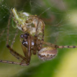 Neriene montana, a spider, photographed 12 August 2013 by B Crowley