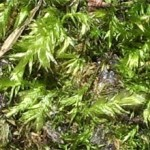 Bryum argentum photographed 2 May 2005 by B Crowley