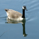 Canada Goose photographed 15 May 2005 by L Pasquire