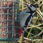 Great Spotted Woodpecker (Dendrocopos major) photographed 7 Febraury 2009 by S Calvert-Fisher