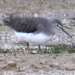 Green sandpiper, photographed 2 Oct 2005 by Stephen Burch