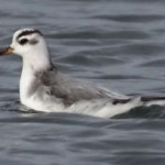 Grey Phalarope, photographed on 21 November 2009 by Stephen Burch