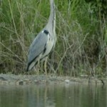 Grey Heron, photographed 6 June 2005 by L Pasquire