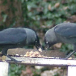 Jackdaws (Corvus monedula) photographed 01 March 2009 by S Calvert-Fisher