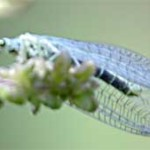 Lacewing, photographed 26 June 2005 by L Pasquire