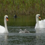Family of Mute Swans, photographed 6 June 2005 by L Pasquire