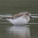 White-rumped sandpiper, photographed 5 November 2005 by Stephen Burch.
