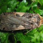 Setaceous Hebrew Character (Xestia c-nigrum) photographed 19 September 2008 by B Crowley