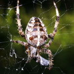 Araneus diadematus, photographed 23 September 2006 by B Crowley