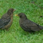 Blackbird and young (14 June 2004)