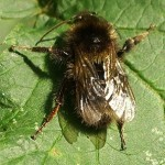 Bumble bee, photographed 02 August 2005 by B Crowley