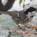 Coal tit (Parus ater) photographed 6 February 2009 by S Calvert-Fisher