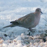 Collared dove (Streptopelia decaocto) photographed 7 February 2009 by S Calvert-Fisher