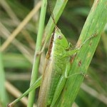 Long-winged conehead bush cricket, photographed 31 July 2005