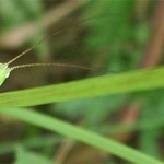 Long-winged conehead bush cricket, photographed 31 July 2005 by B Crowley, ID by Roger Hawkins