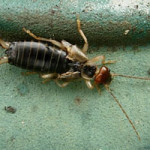 Common earwig (Forficula auricularia) photographed 04 August 2008 by S Calvert-Fisher