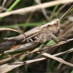 Grasshopper, photographed 14 August 2005 by B Crowley