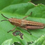 Grasshopper, photographed 26 June 2005 by B Crowley