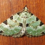 Green carpet moth, photographed 01 Sept 2005 by B Crowley