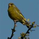 Greenfinch (12 June 2004)