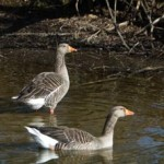 Greylag geese, photographed 10 April 2006 by B Crowley