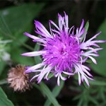 Knapweed, photographed 05 August 2005 by B Crowley