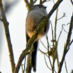 Long-tailed tit, photographed 19 March 2006 by B Crowley