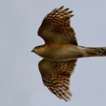 Sparrowhawk (Accipiter nisus) photographed in flight 29 March 2008 by J Kellard